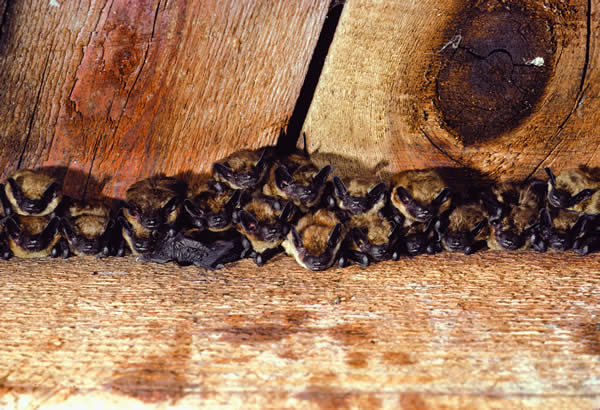 Big Brown Bat Bats About Our Town Olympia Wa